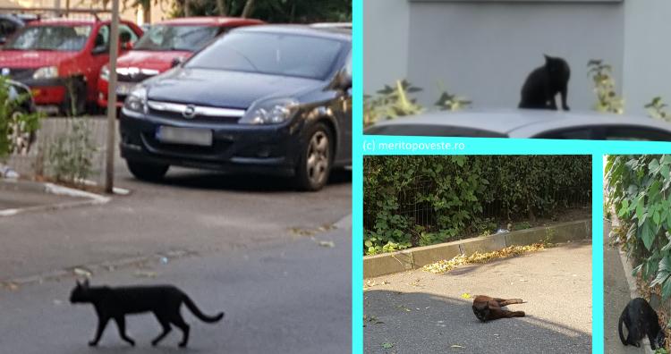 pisici negre cartierul vitan